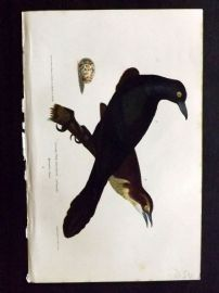 Alexander Wilson 1877 Bird Print. Great Crow Blackbird